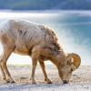 Rocky Mountain Bighorn Sheep near Lake Minnewanka in Banff Natio