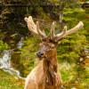 An Elk in Velvet in Banff National Park