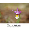 Fairy Slipper at the Tunnel Mountain Campground in Banff