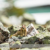 Golden-mantled Ground Squirrel at Lake Oesa