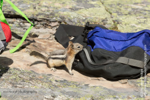 Golden-mantled Ground Squirrel at Lake Oesa