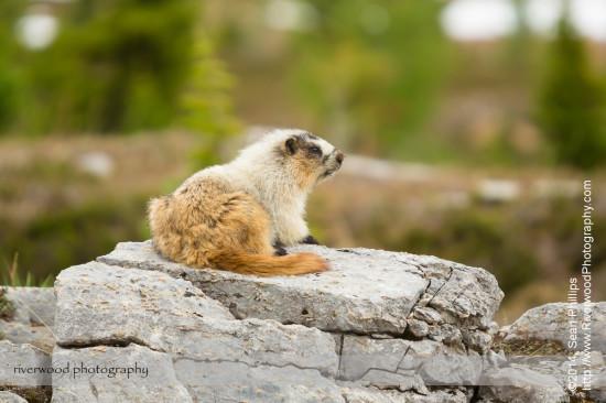 Hoary Marmot near Lake O'Hara in Yoho National Park
