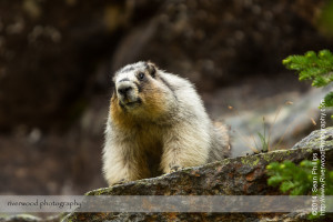 Hoary Marmot near Lake O'Hara in Yoho National Park