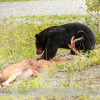 Black Bear and a White-tailed Deer