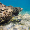 Hawaiian Green Turtle Under a Rock