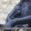 Western Lowland Gorilla at the Calgary Zoo