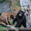 Black Bear at the Calgary Zoo