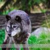 Grey Wolf at the Calgary Zoo